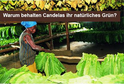 Gr_ne_Candelas_NL